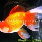 Chơi cá cảnh, cách chọn cá và đặt hồ cá theo Phong Thủy